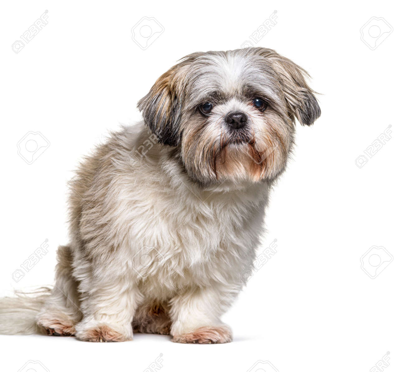 Shih Tzu looking at the camera, sitting on white - 171049281