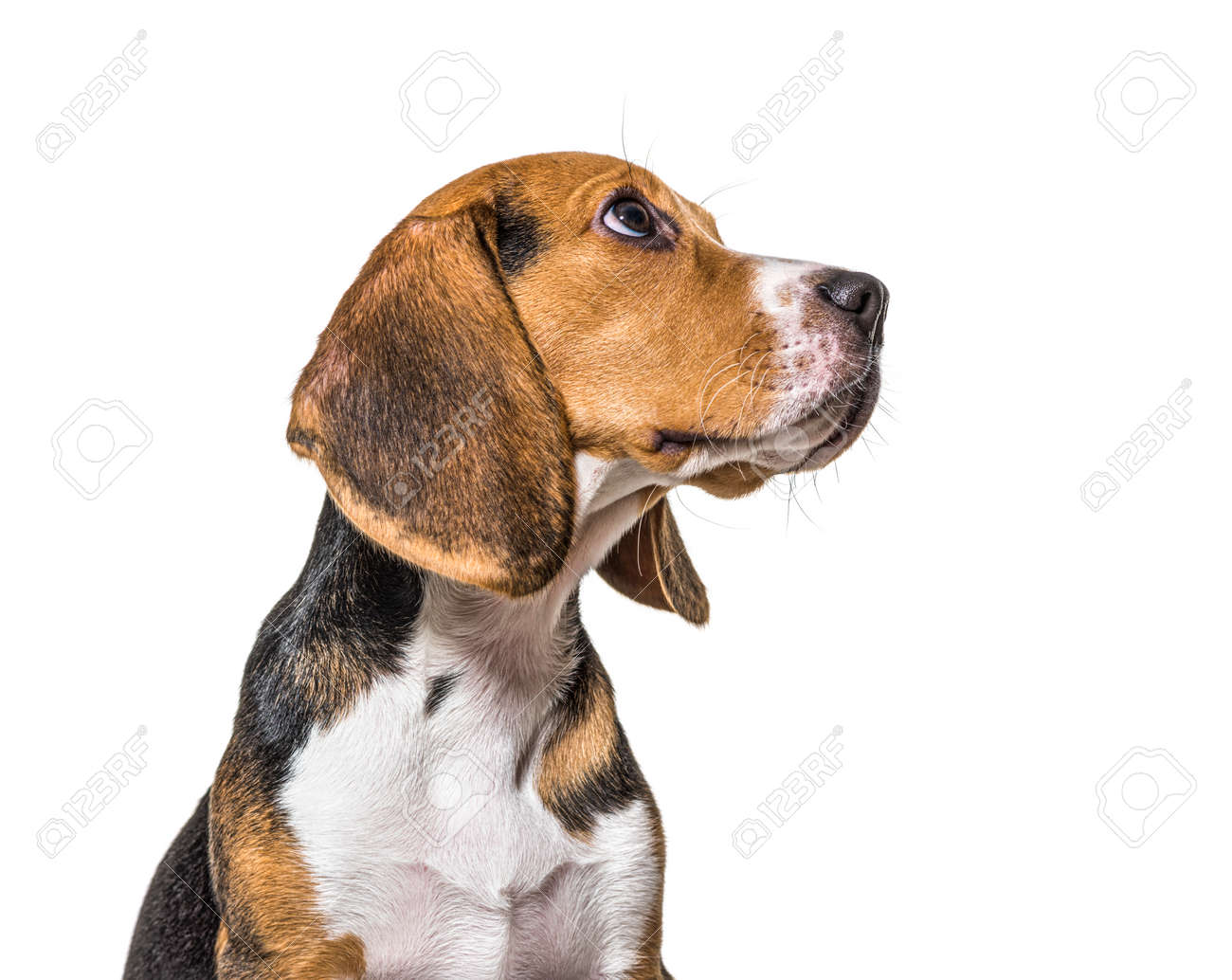 Head shot profile of a Young puppy Beagles dog, isolated - 171049287