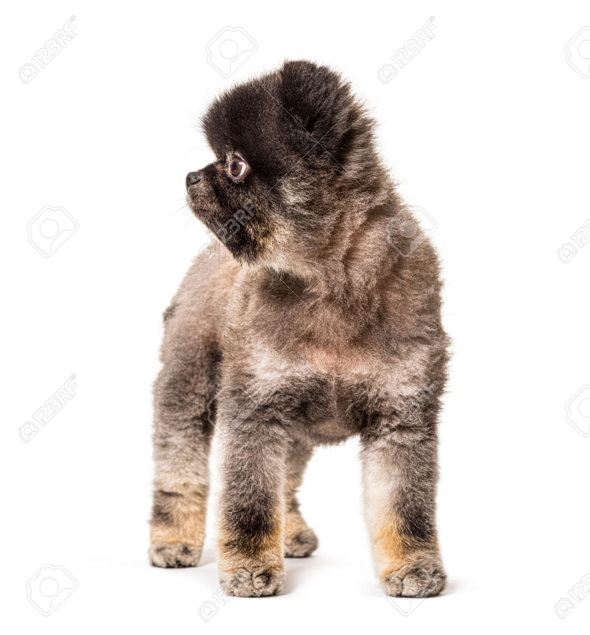 Brown and Black groomed spitz dog standing on a white background - 171049289