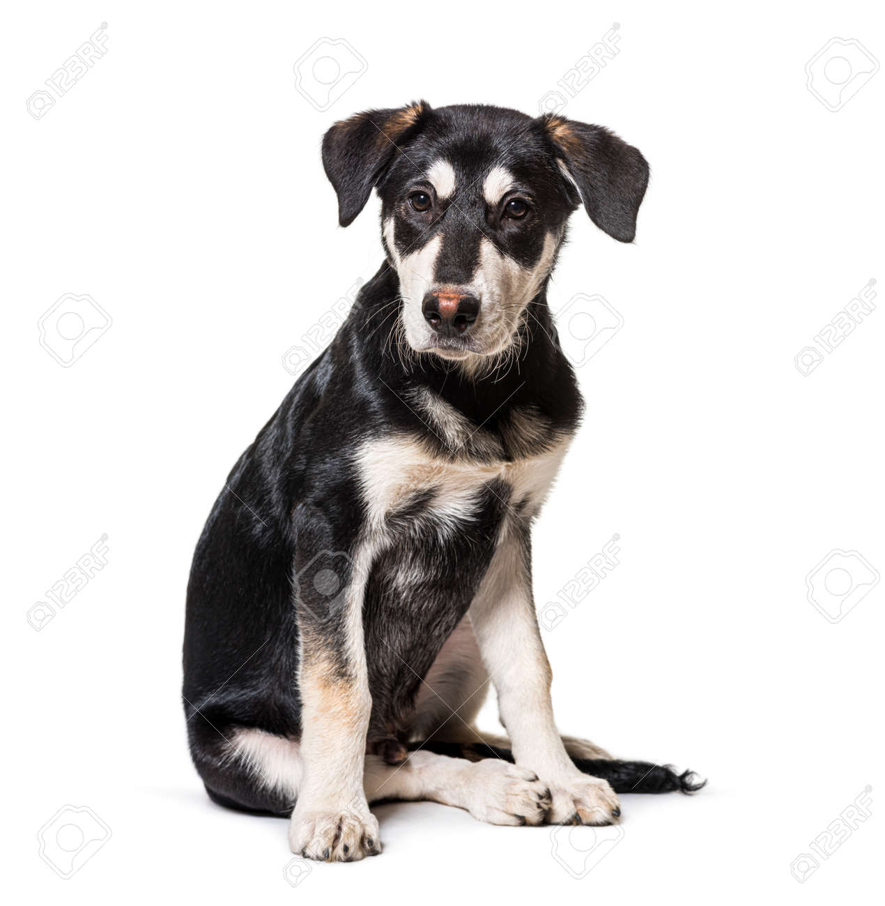 Black and white Crossbreed dog sitting, isolated - 171049294