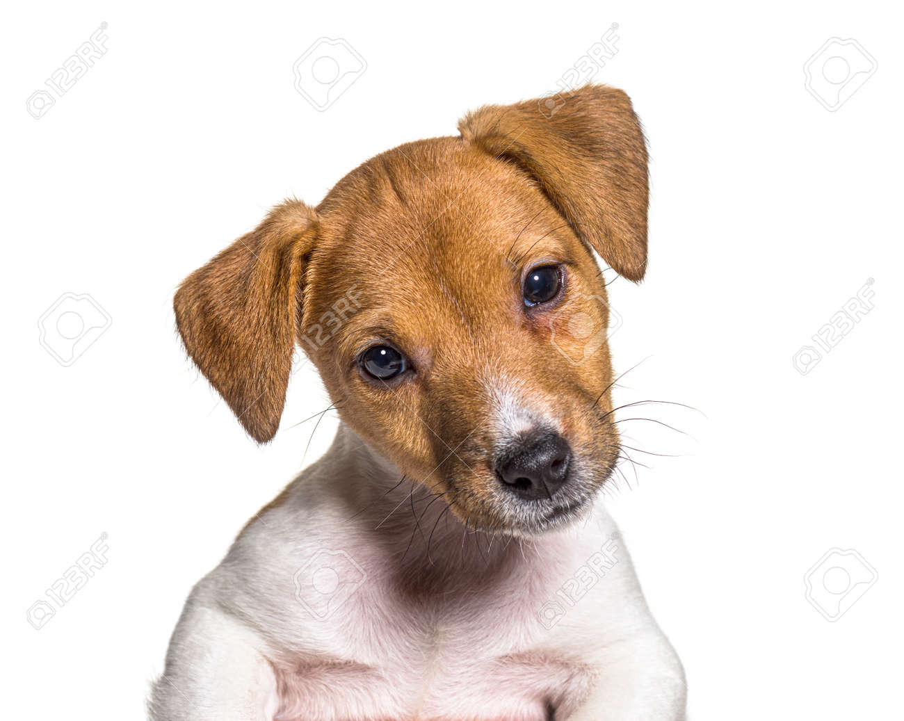 Head shot of a Puppy Jack russel terrier dog, two months old, isolated on white - 171049295
