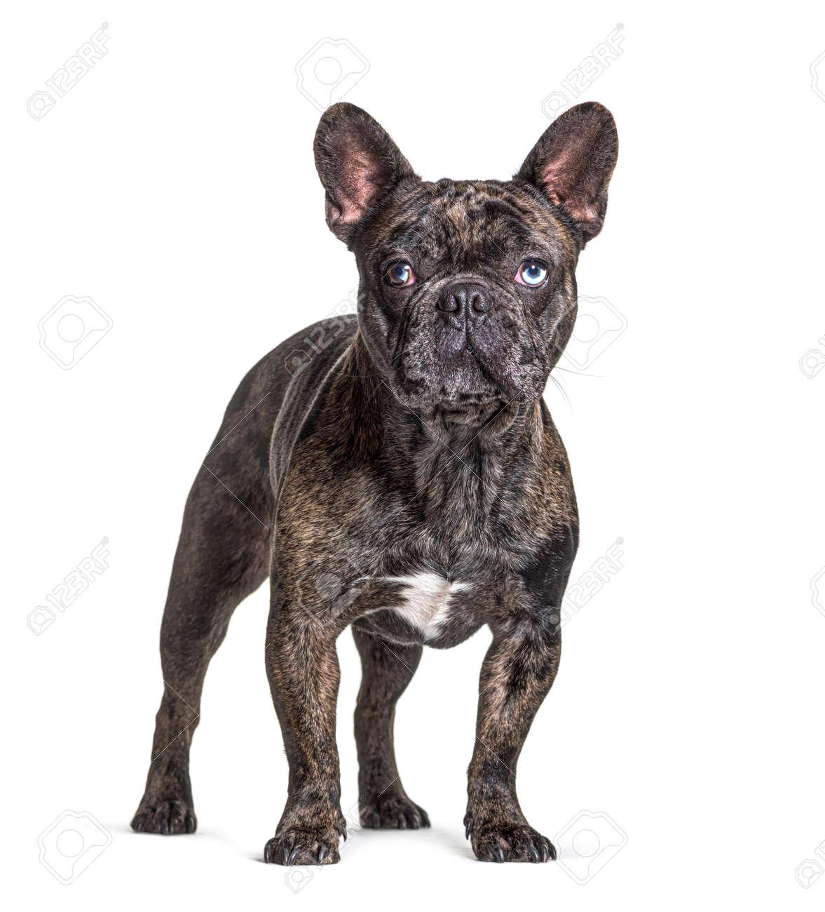 Brindle French bulldog blue eyed, standing, isolated on white - 171049326