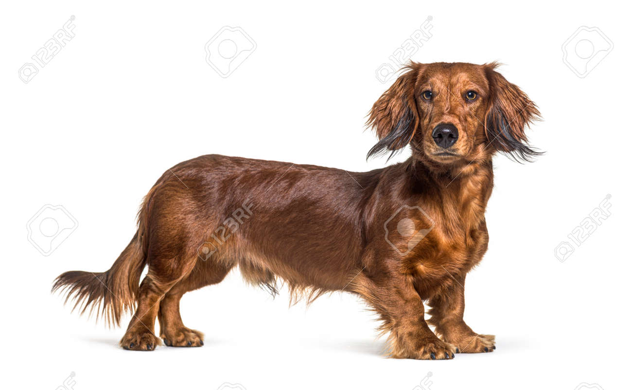 Side view of a brown dachshund dog looking at the camera, isolated - 171049329