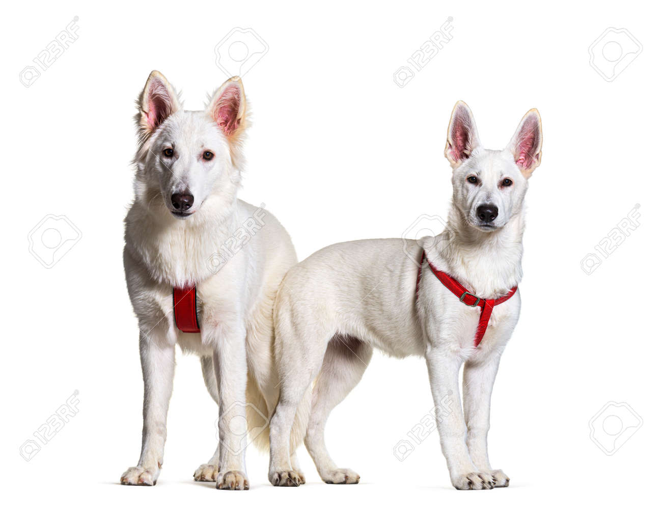 Two swiss Shepherd dogs together in front, isolated - 171049331