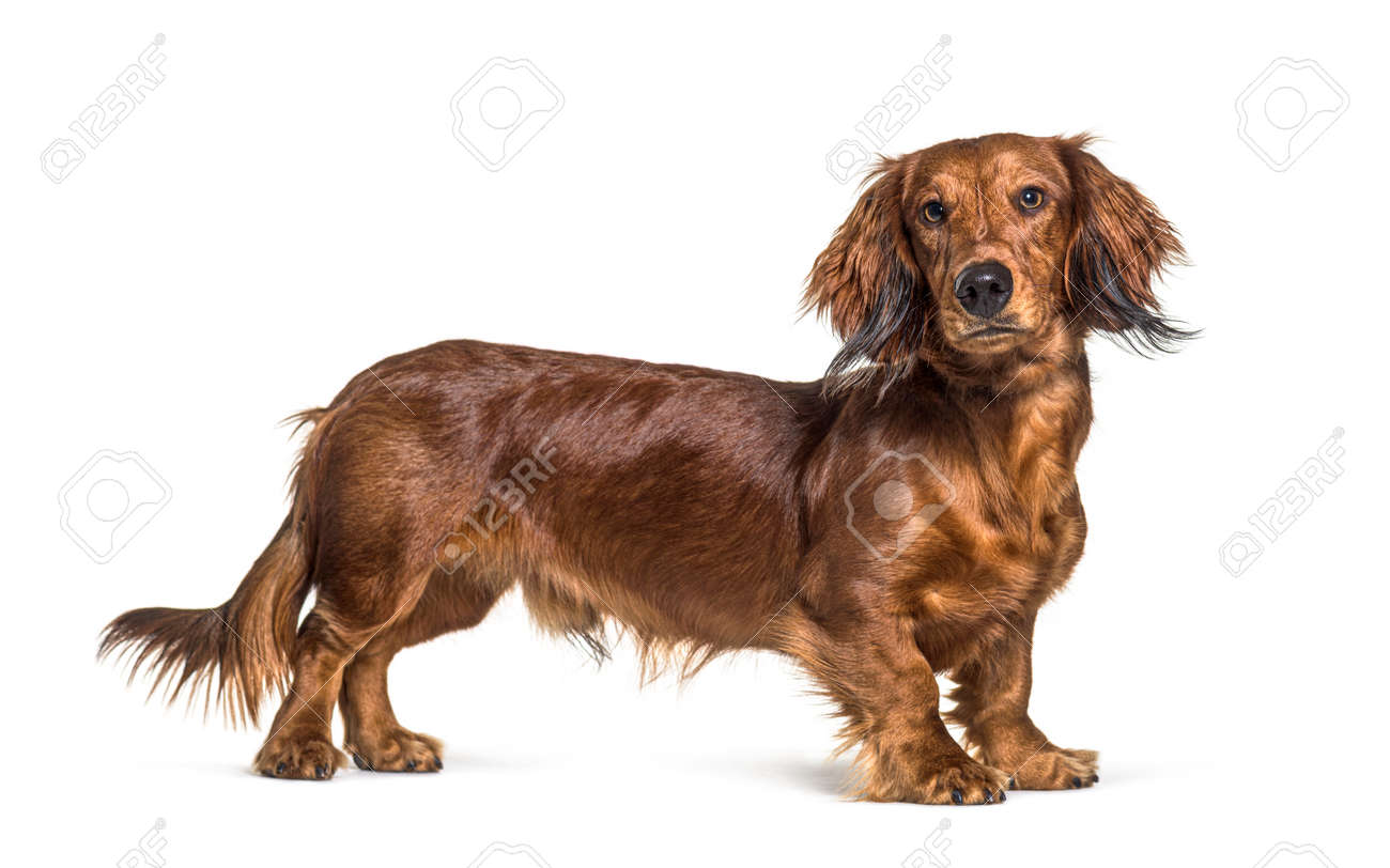 Standing dachshund looking at the camera isolated on white - 171049336
