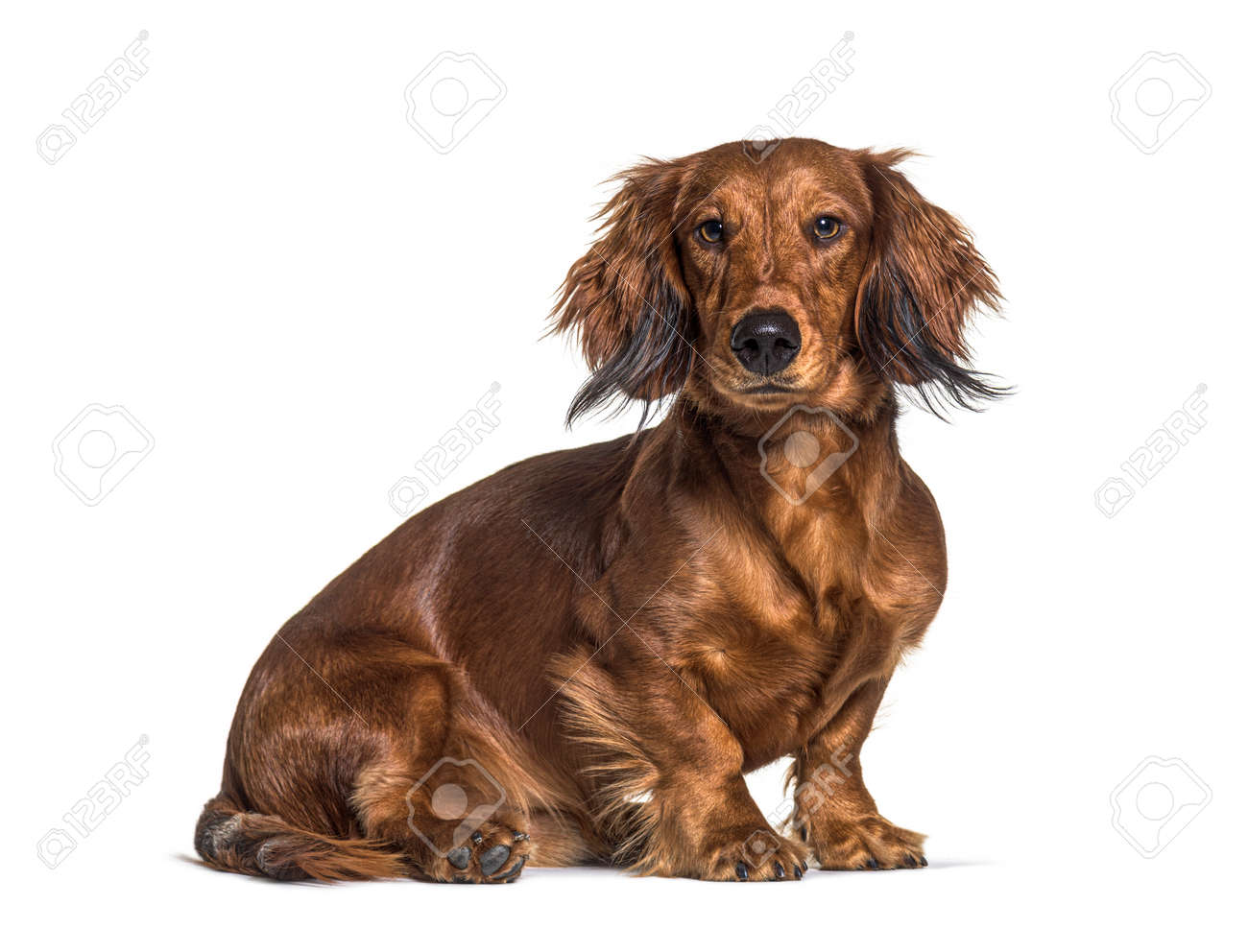 Sitting dachshund looking at the camera isolated on white - 171049341