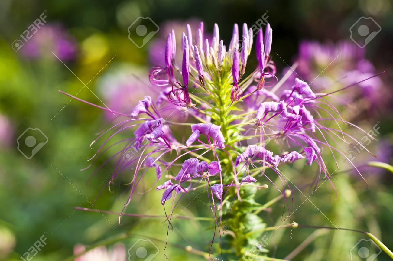 Spider flower Stock Photo - 18676554