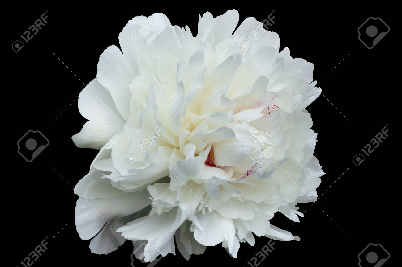 Large White Flower The Decorative Peony With Petals Of Irregular