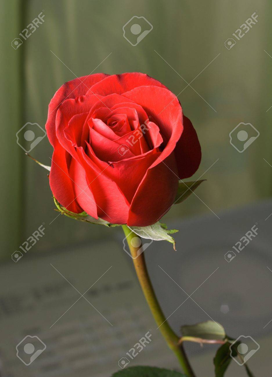 Single red rose on a colored background Stock Photo - 8905395