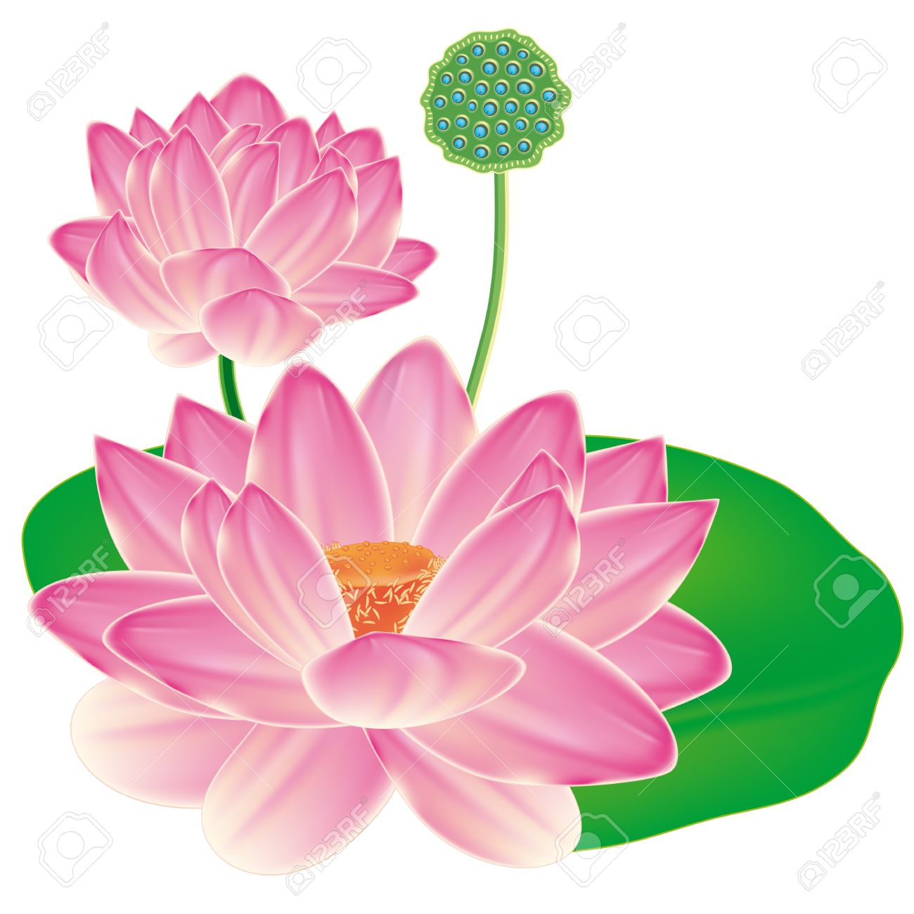 realistic oriental lotus a flower isolated with a sheet a