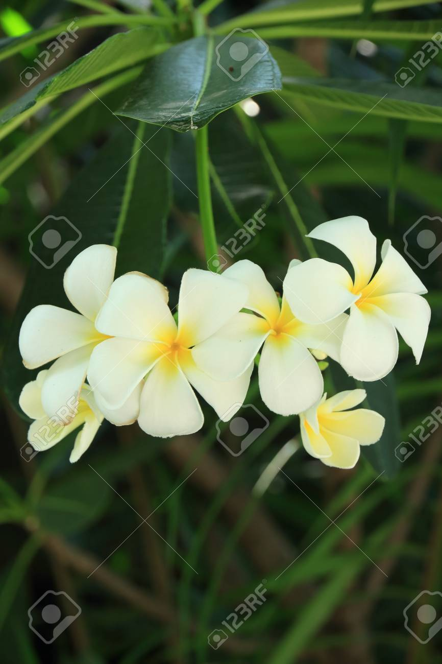 The Plumeria Has Five Petals Yellow Middle Outside White Stock