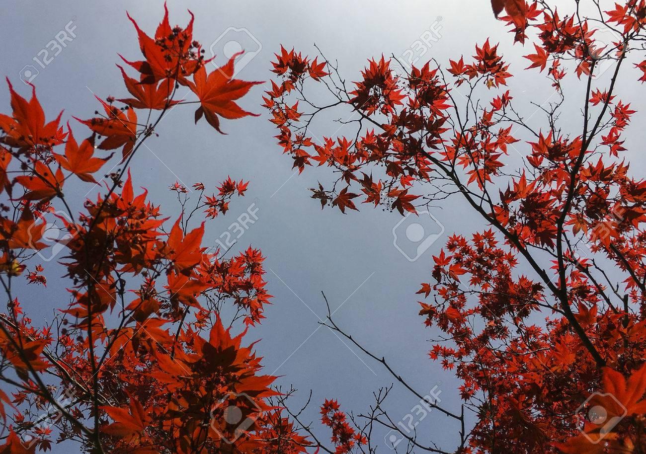 feuille rouge arbre d'érable japonais banque d'images et photos