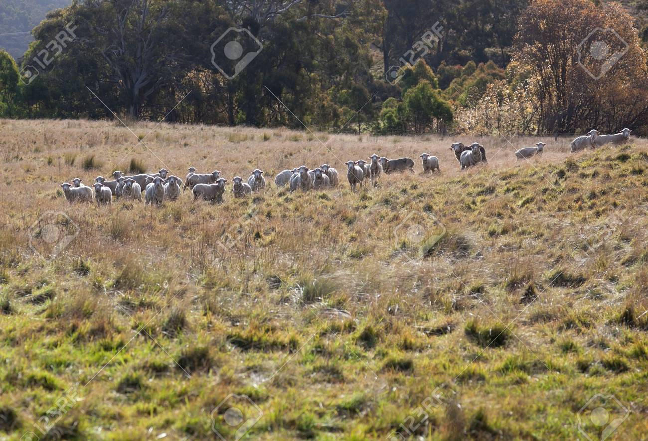 Sheep grazing  Tablelands near Oberon  New South Wales  Australia Stock Photo - 13752249
