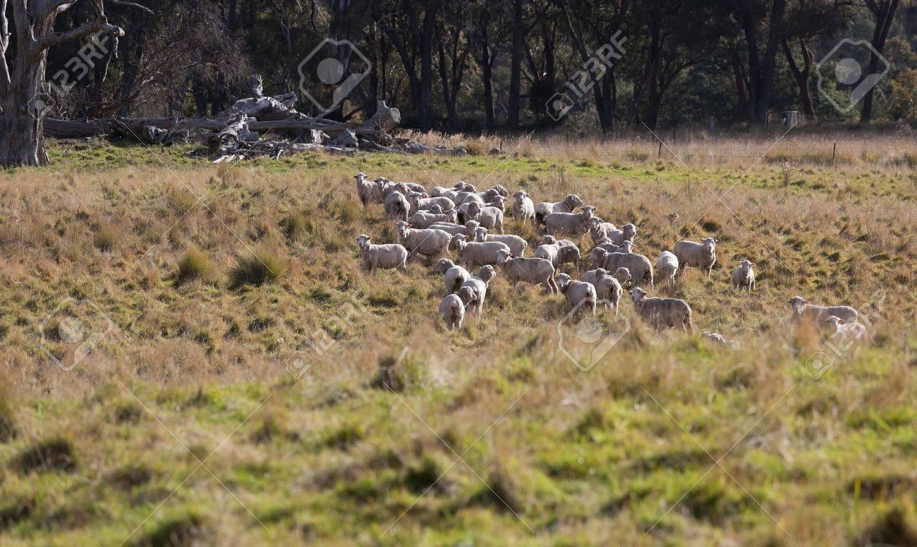 Sheep grazing  Tablelands near Oberon  New South Wales  Australia Stock Photo - 13752251
