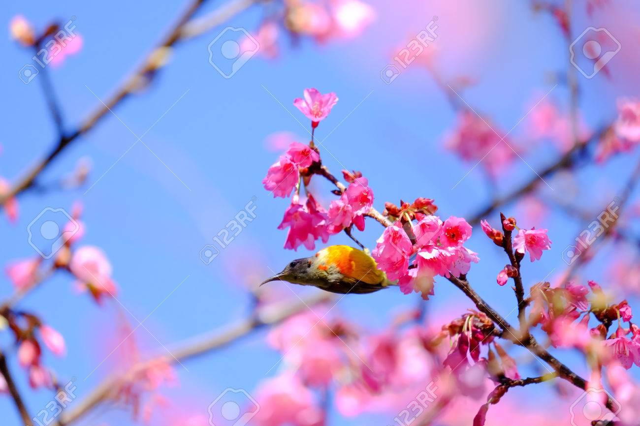 Sakura Fleur Et L Oiseau Japonais Ou La Cerise A Doi Ang Khang