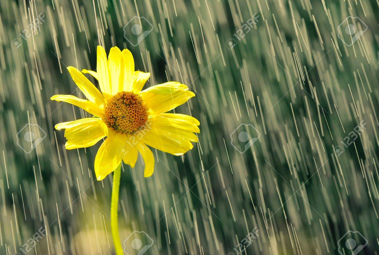 Yellow flower in drops of rain stock photo picture and royalty stock photo yellow flower in drops of rain mightylinksfo