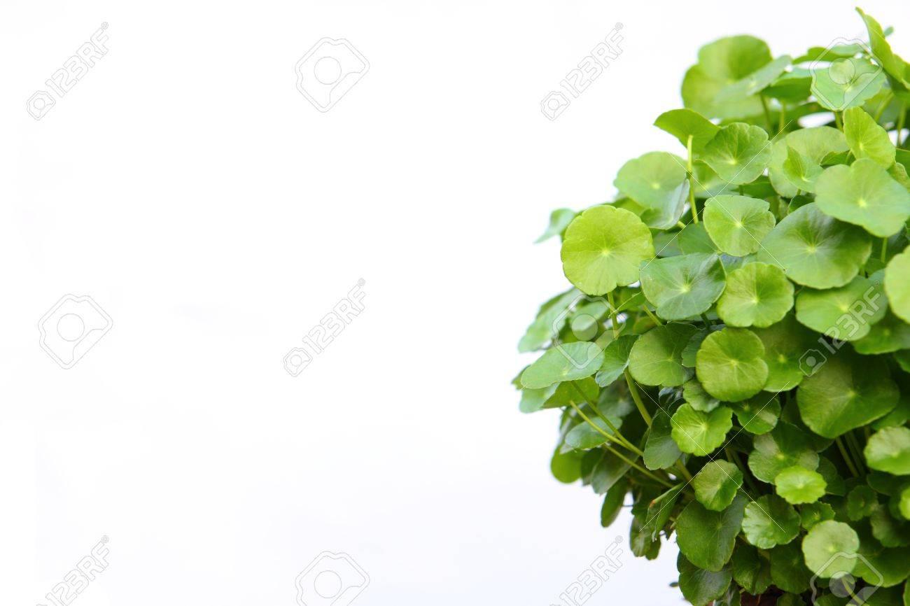 Gotu kola(Centella asiatica), arthritis herb - 8331302
