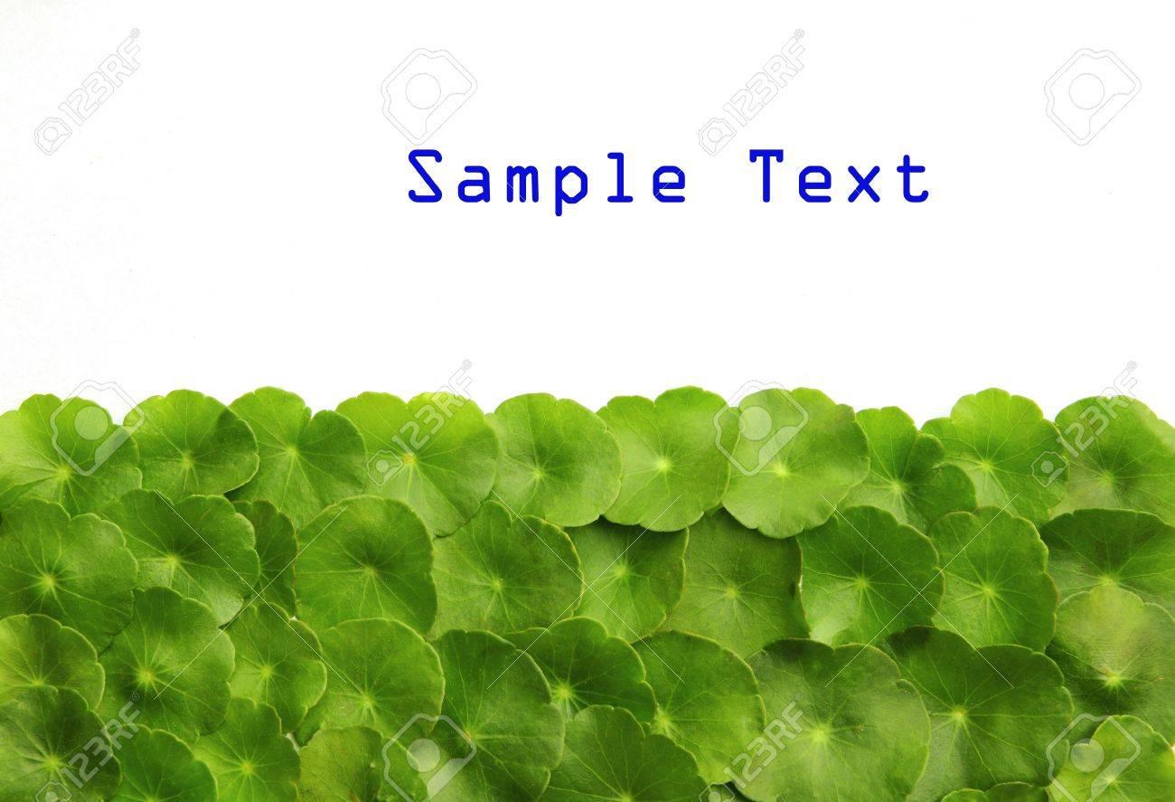 Gotu kola(Centella asiatica), arthritis herb - 8417541
