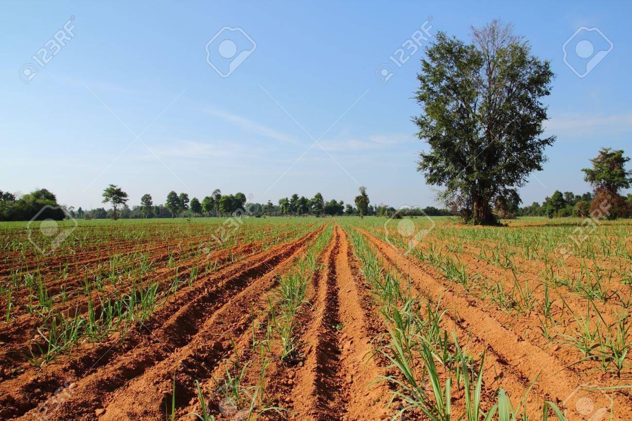 sugarcane - 8559257
