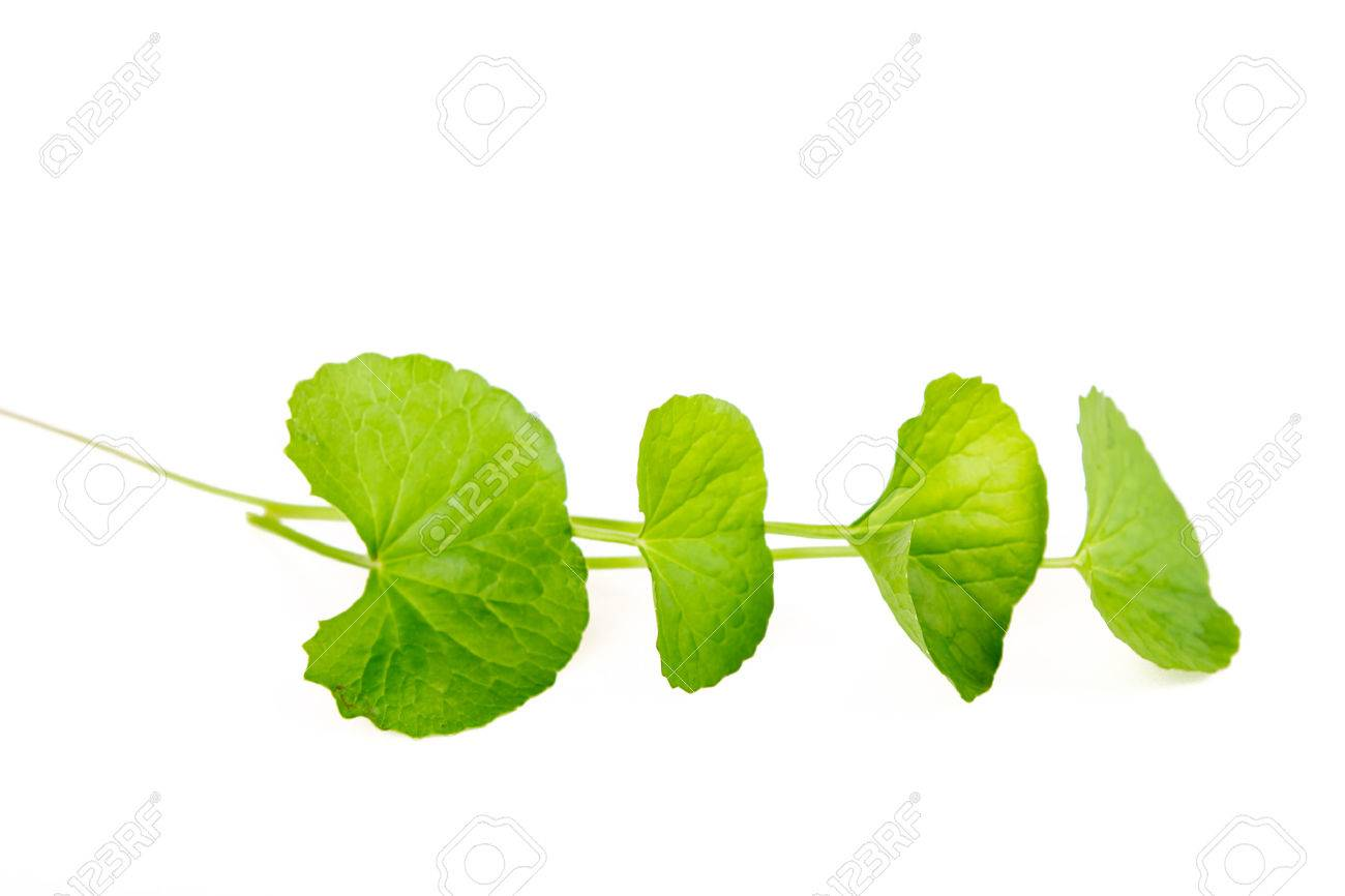 Herbal Thankuni leaves of indian subcontinent, Centella asiatica - 43044879