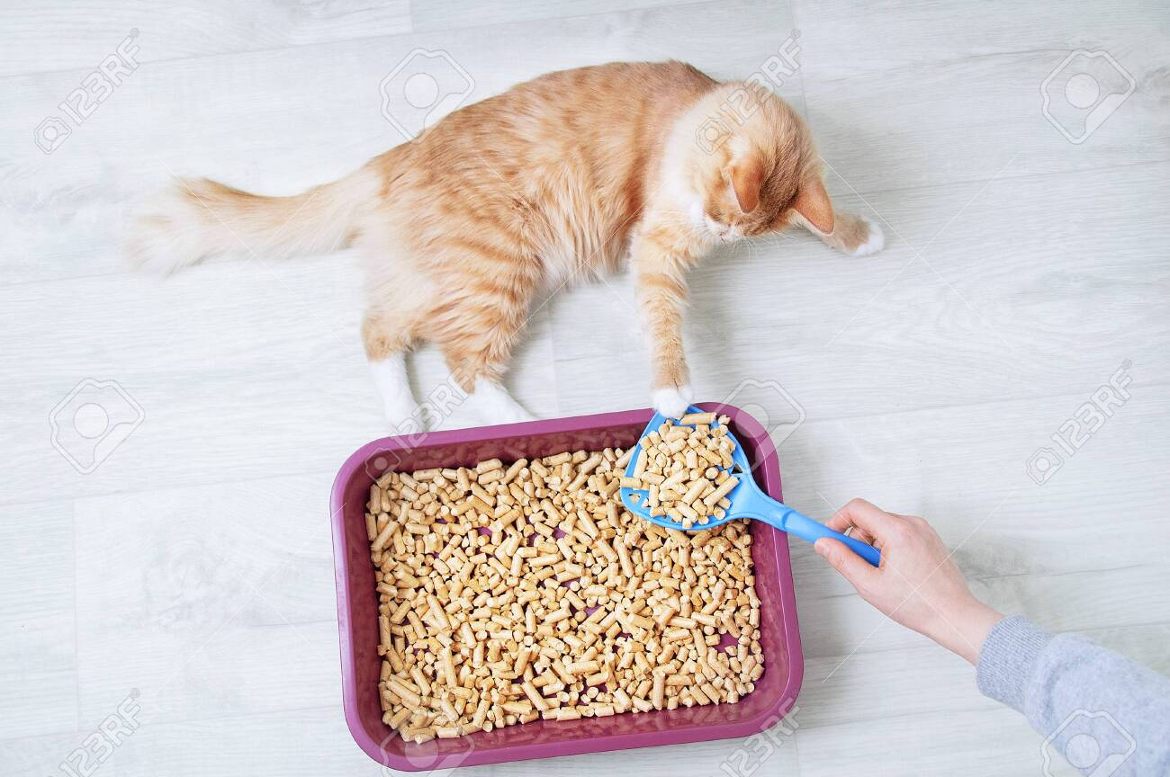 Wood shavings for cat litter close-up. Ginger cat at the tray. View from above. - 155502094