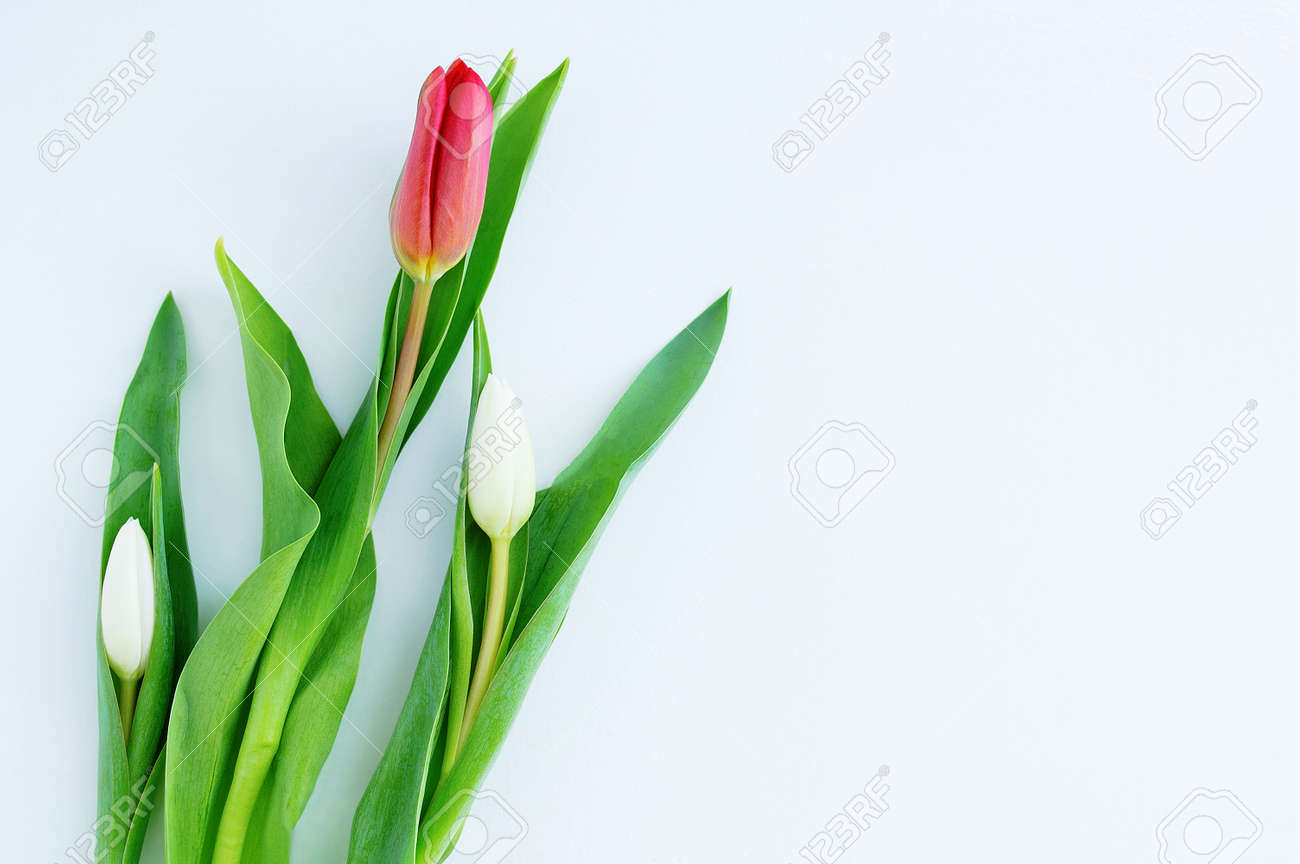 Three tulips on a white background. Place for your text. - 166396348