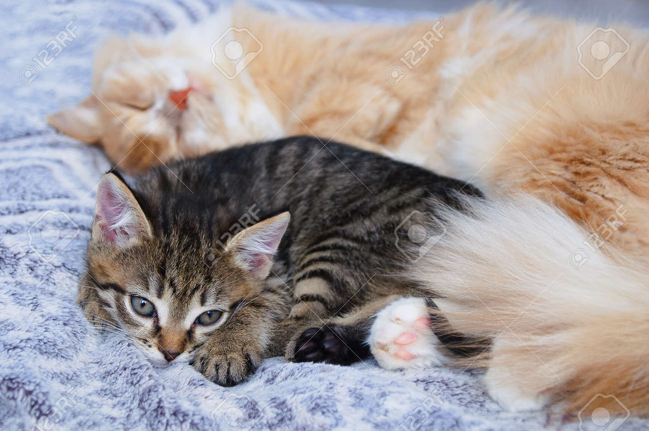 A small gray kitten and an adult cat lie in an embrace on the bed. - 170380830