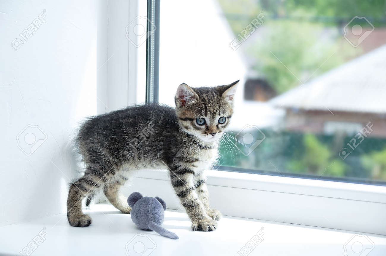 A small gray kitten plays on the windowsill with a soft toy mouse close-up. - 171070415