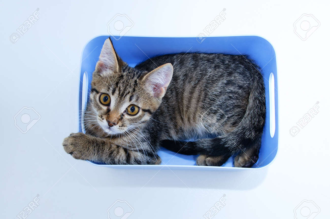 Small gray kitten lying in a blue box on a white background. View from above. - 171076370