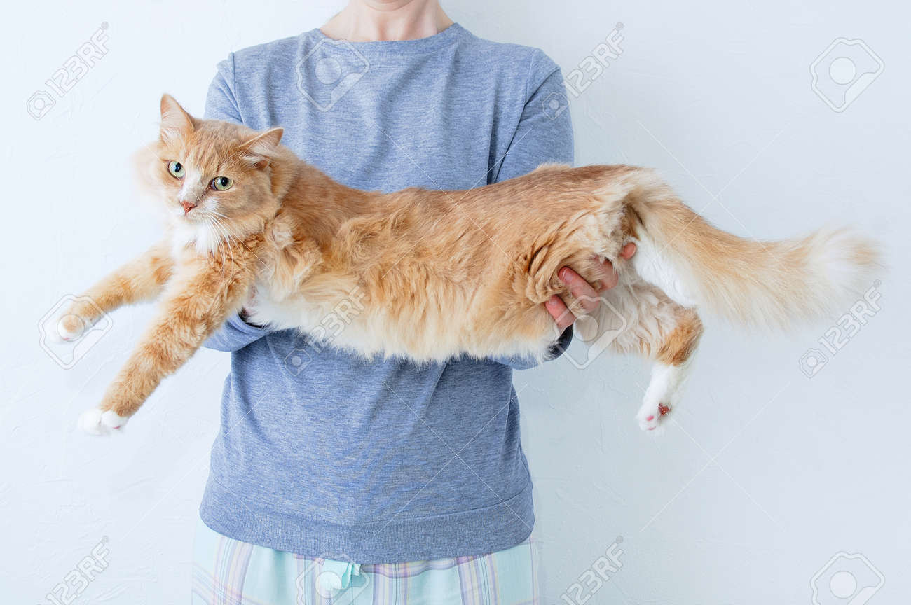 Big fluffy beige cat lying on the hands of a Caucasian woman. - 171076114