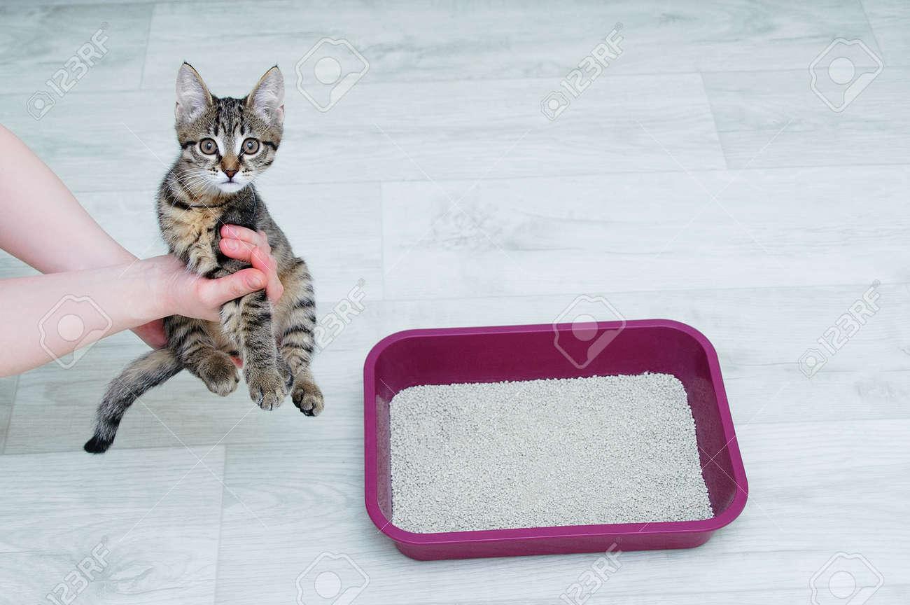 Cat litter training for a little kitten. Kitten in the hands of a Caucasian woman. - 171610481
