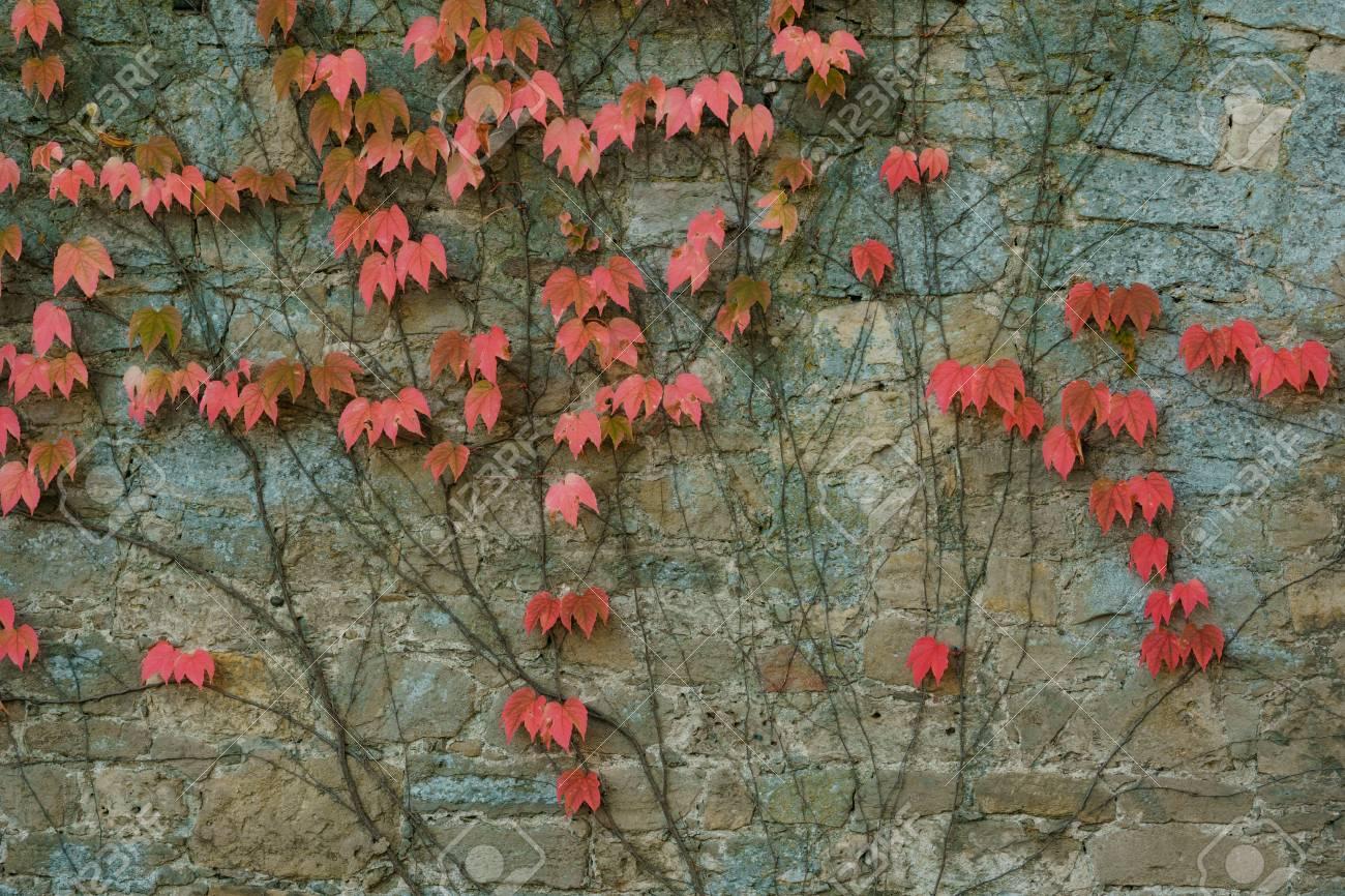 Boston Ivy Parthenocissus tricuspidata Veitchii
