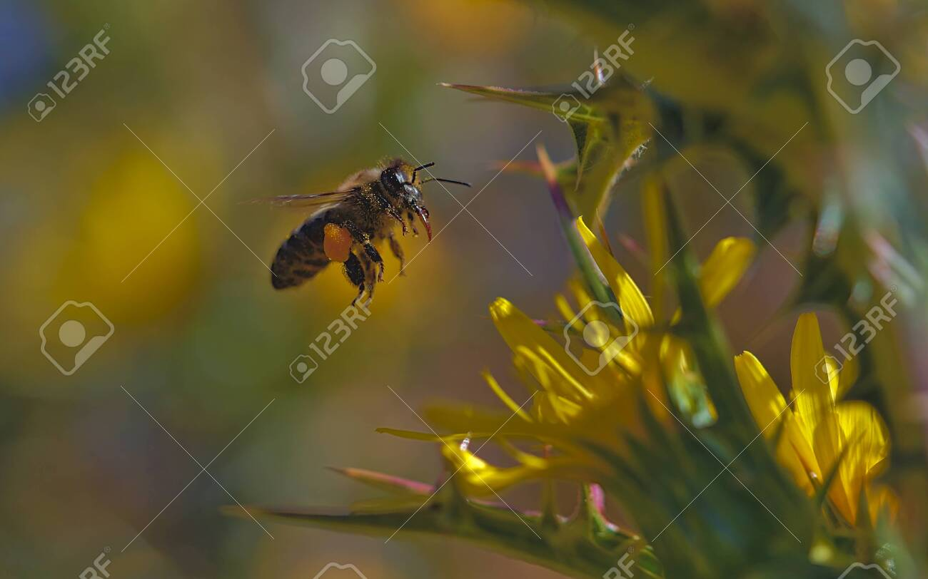 Bee in flight loaded with pollen on the way to the hive. - 137959985
