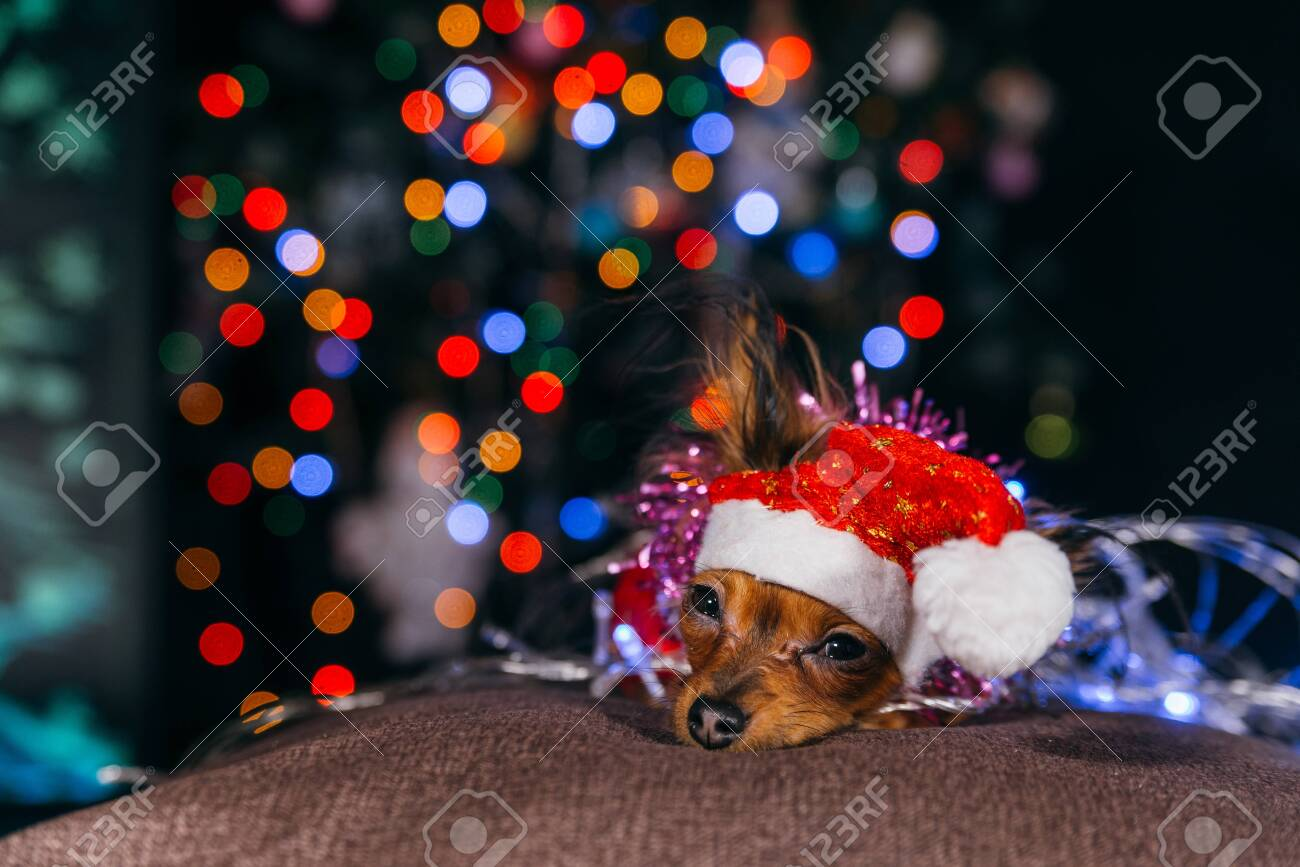 The Toy Terrier is a yellow New Years dog. - 134776383