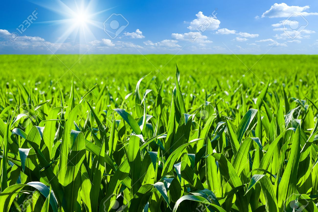 cornfield, outdoor, sunlight, soil, agriculture, green, spring, earth, cloud, sprout, row, farmland, day, tillage, germs, agrarian, leaf, field, culture, growing, summer, maize, farm, ploughed, springtime, furrow, landscaped, plantation, farming, stem, ag - 27353358