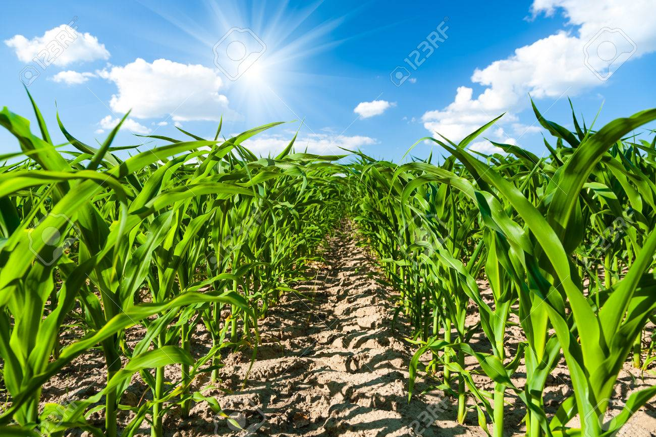 Corn field - 27353363