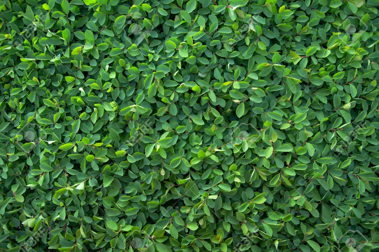 Green leaves of spiraea floral background texture Stock Photo - 13516637