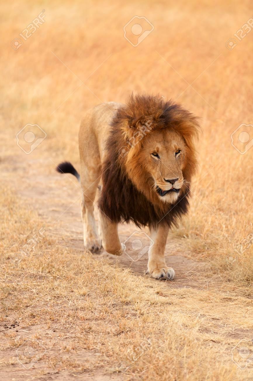 male lion walking in grass in masai mara kenya stock photo picture