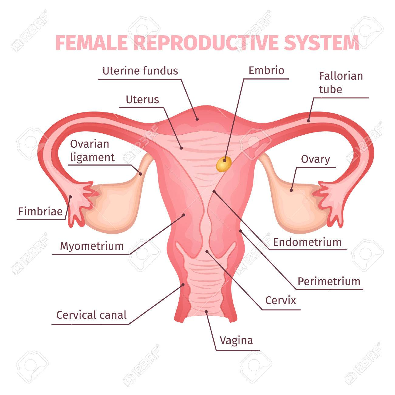 Female Reproductive System Scientific Template Royalty Free Cliparts