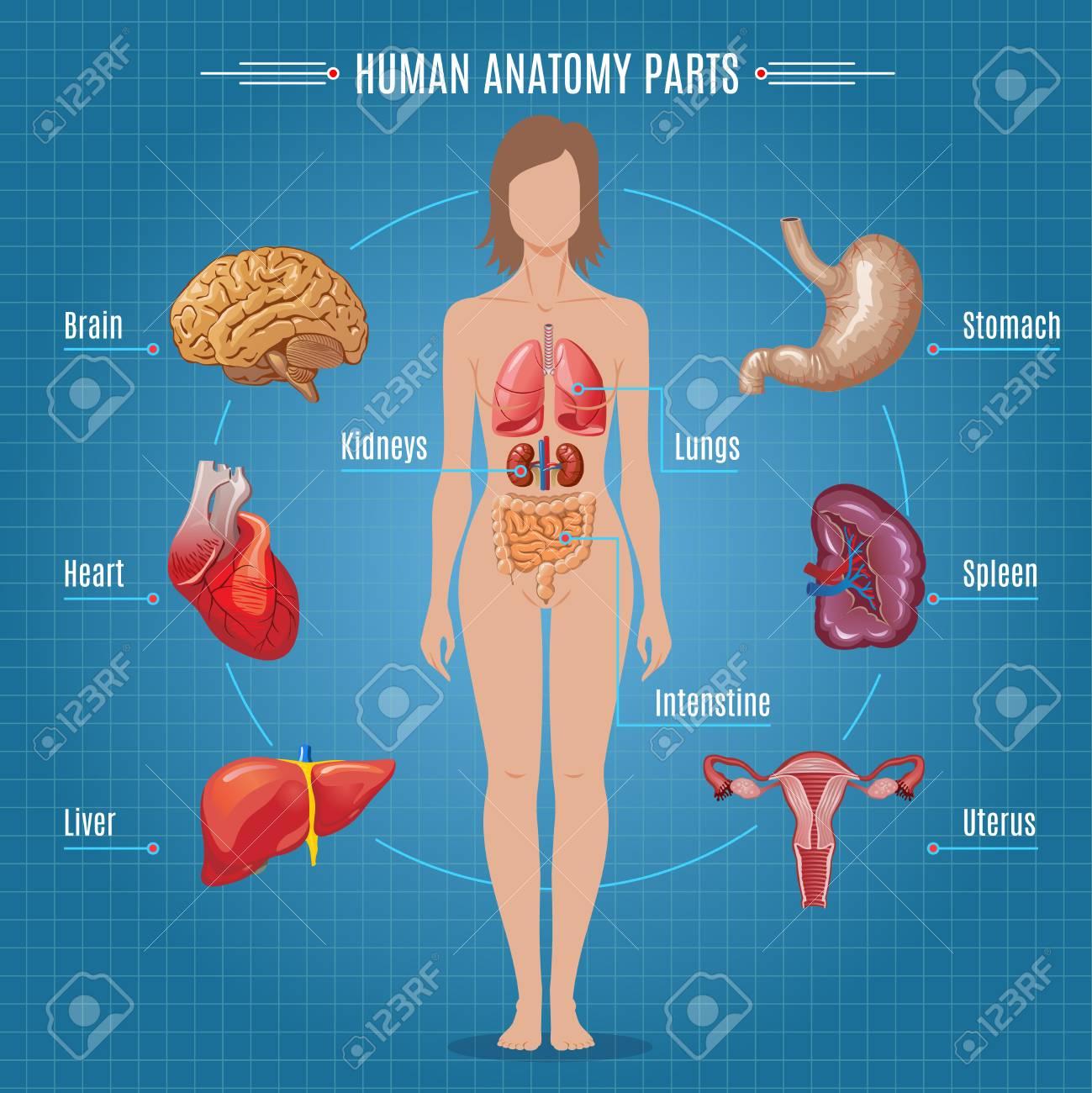 Concepto De Infografía De Piezas De Anatomía Humana Ilustraciones ...