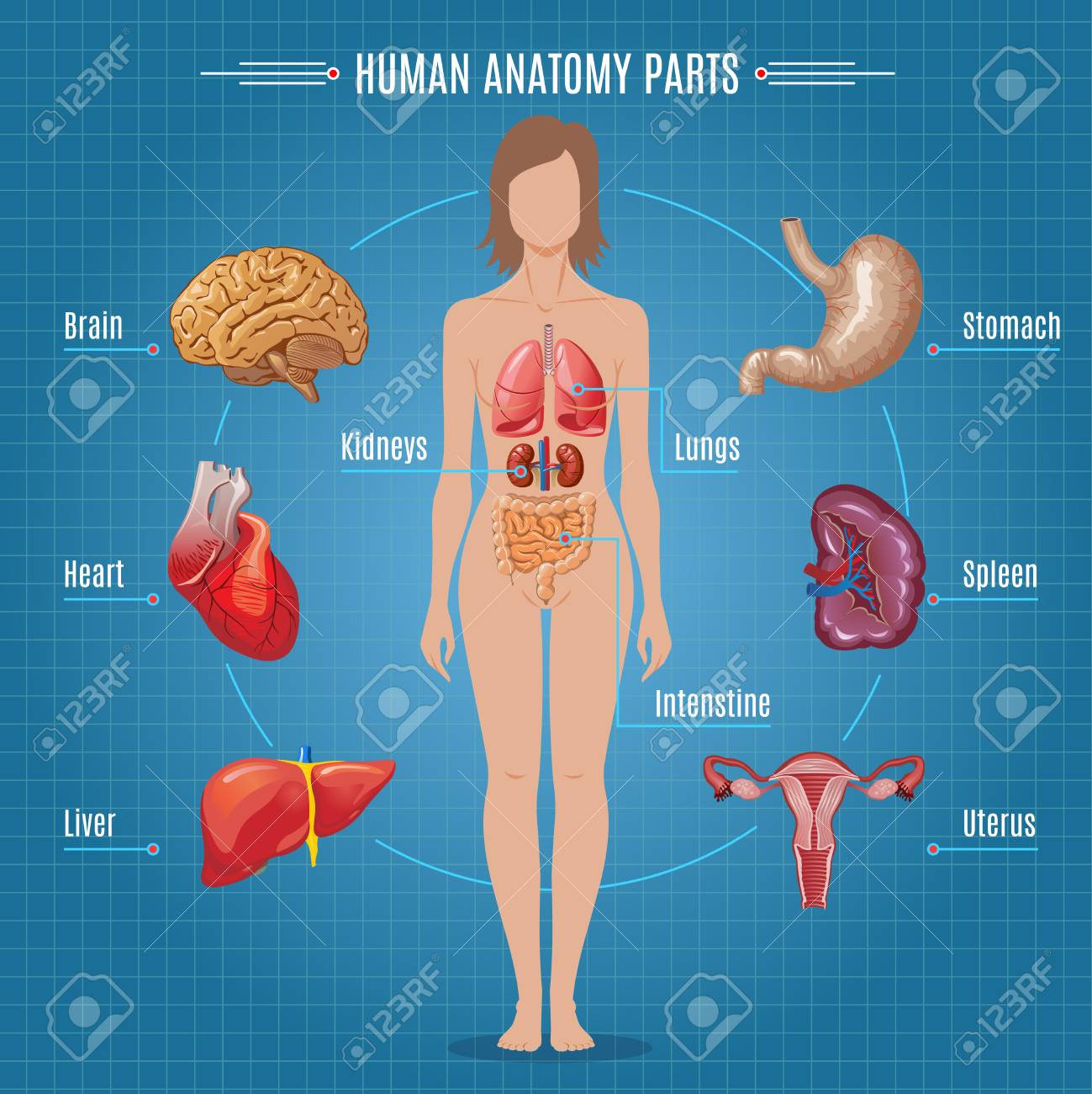 Human Anatomy Parts Infographic Concept Royalty Free Cliparts