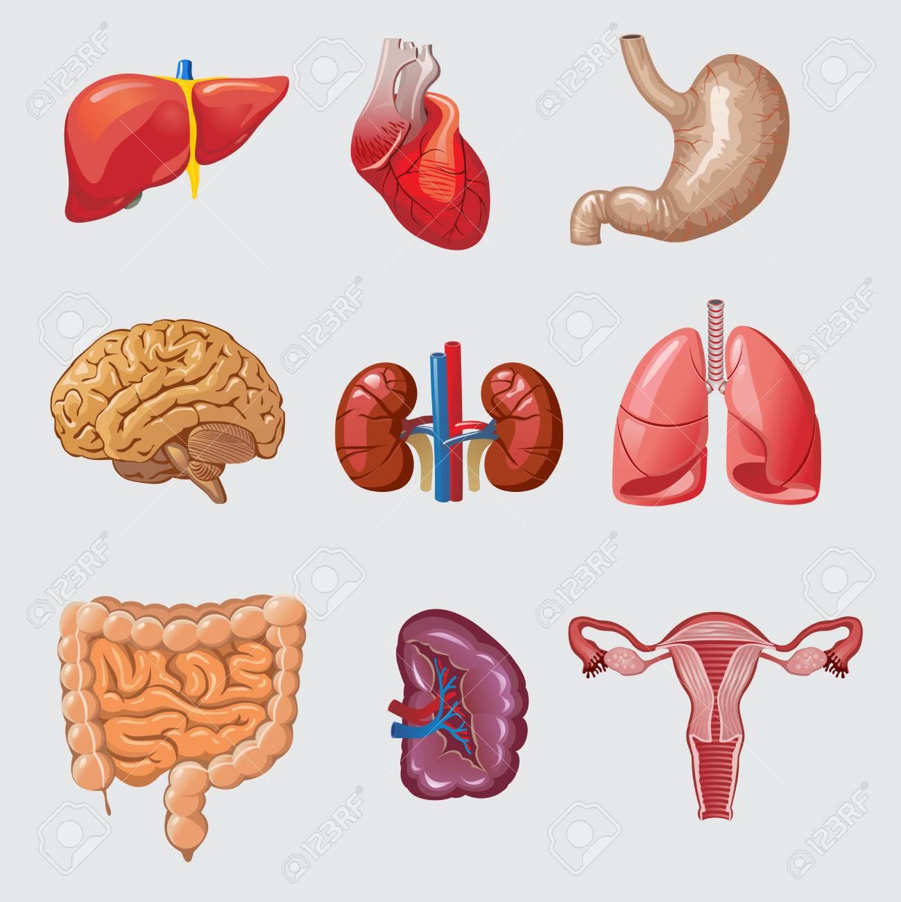 Conjunto De órganos Humanos De Dibujos Animados Ilustraciones ...
