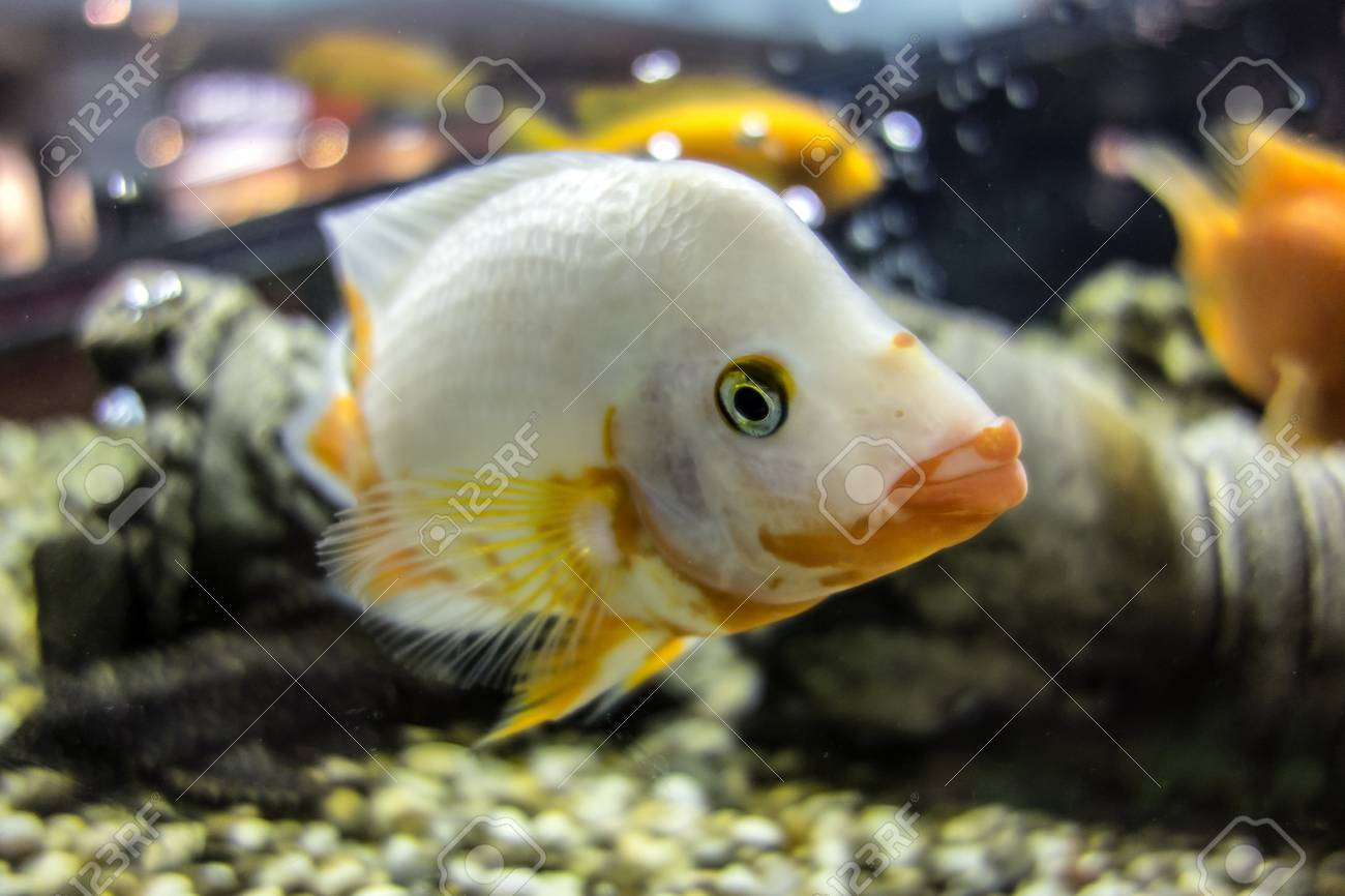 White Cichlid Fish Swimming In The Aquarium Cichlid With Very