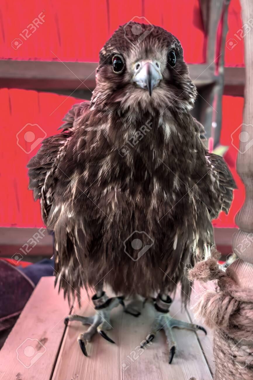 Saker falcon bird