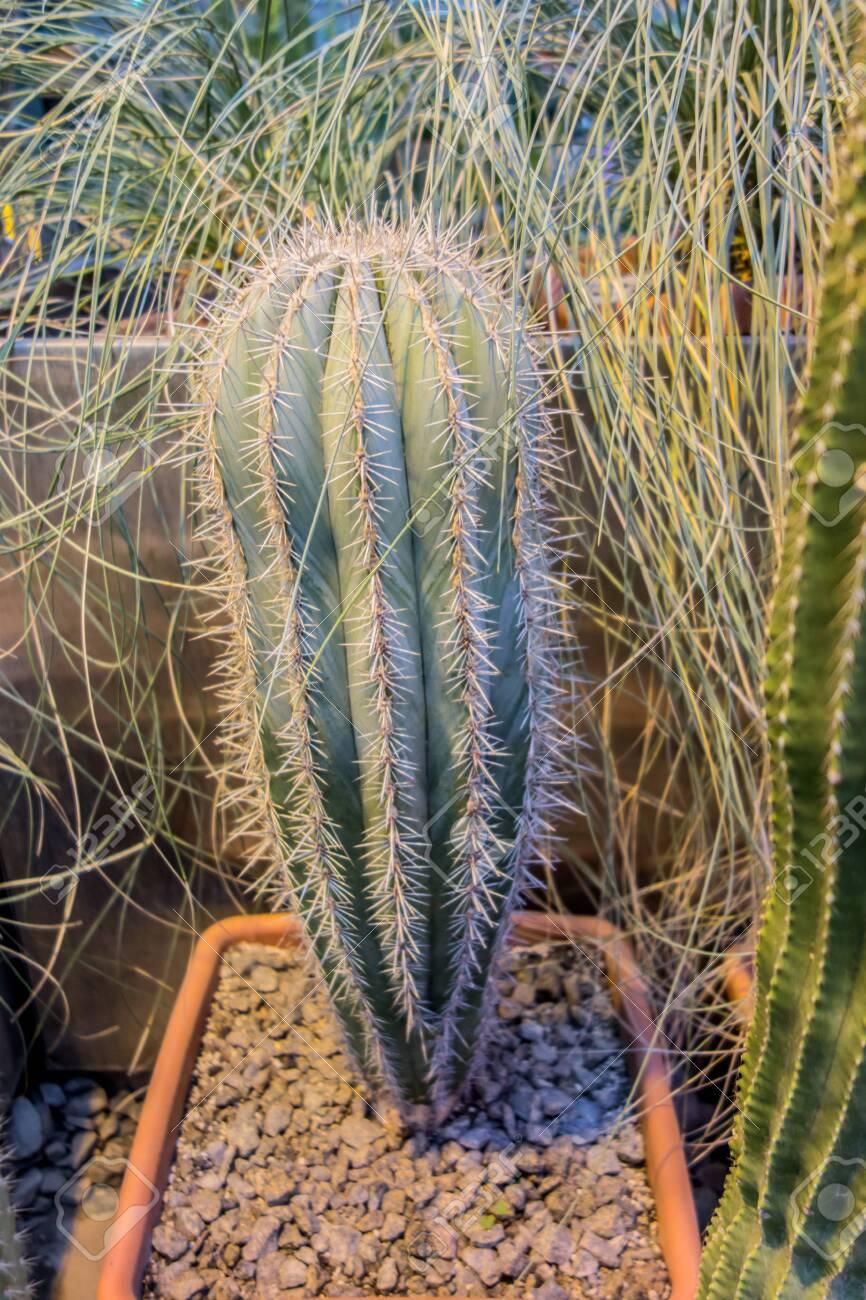 Succulents cactus