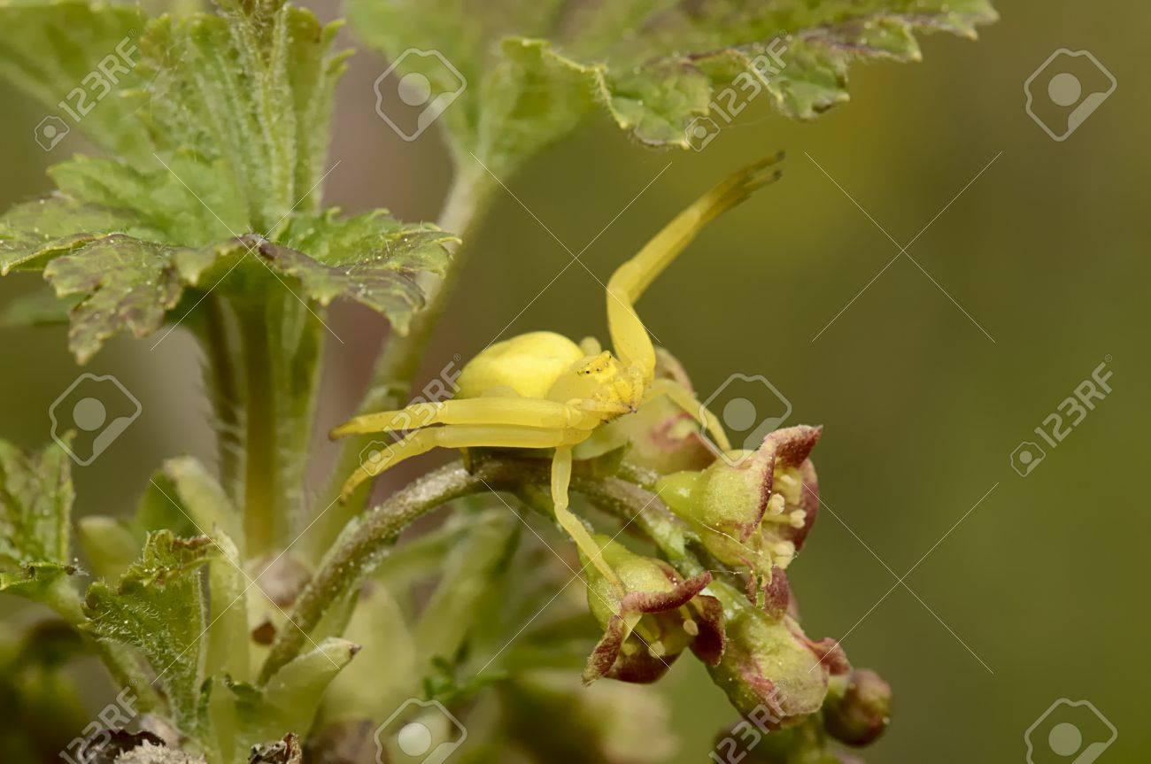 The spider sitting on a branch of a currant Stock Photo - 13330118