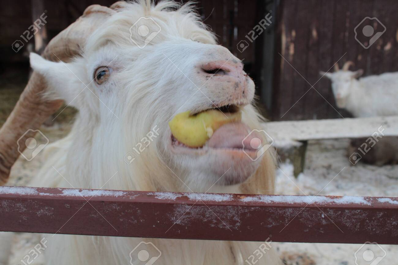 Pets in the stable. Beautiful white goat closeup. - 146164009