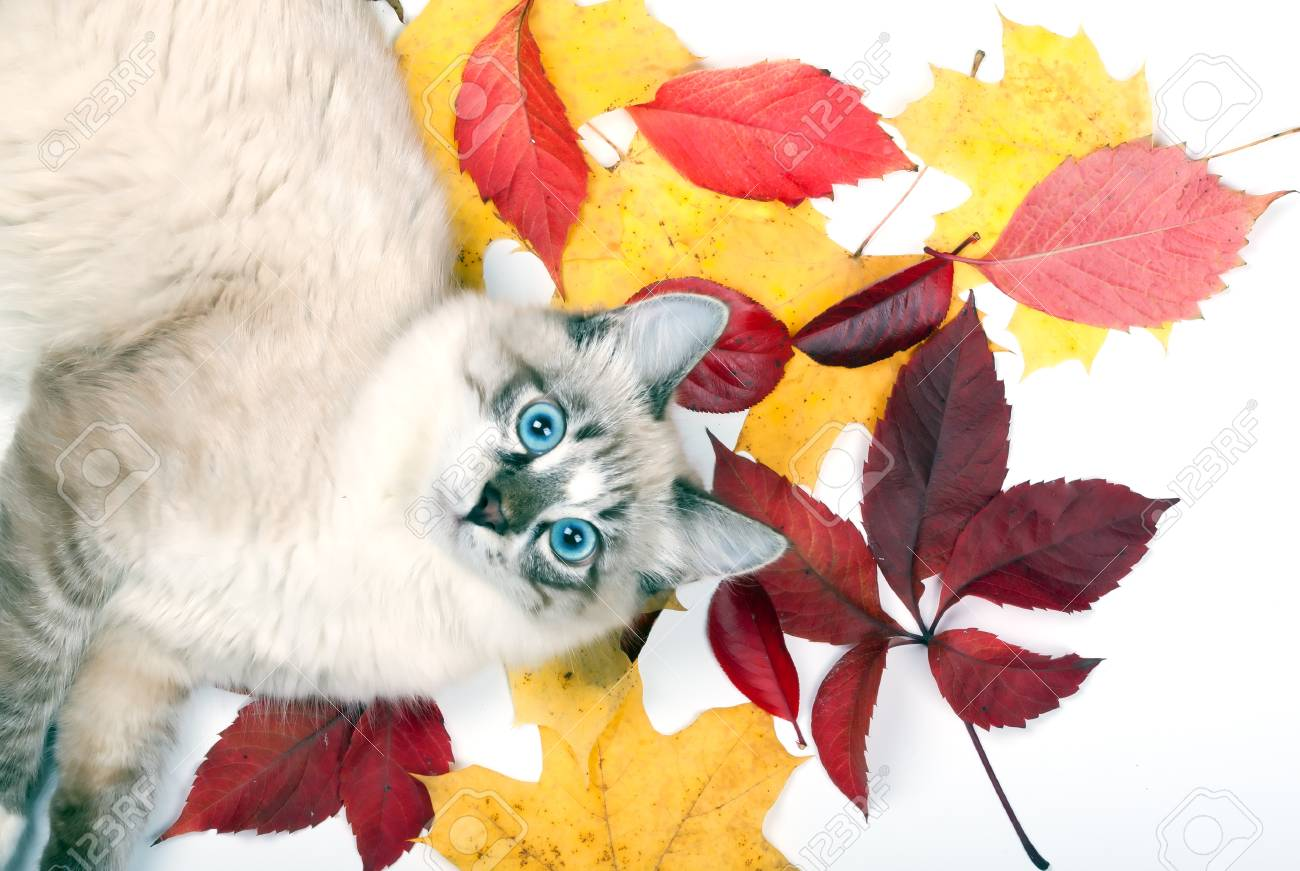 curious young blue-eyed cat lying in the leaves - 22458932