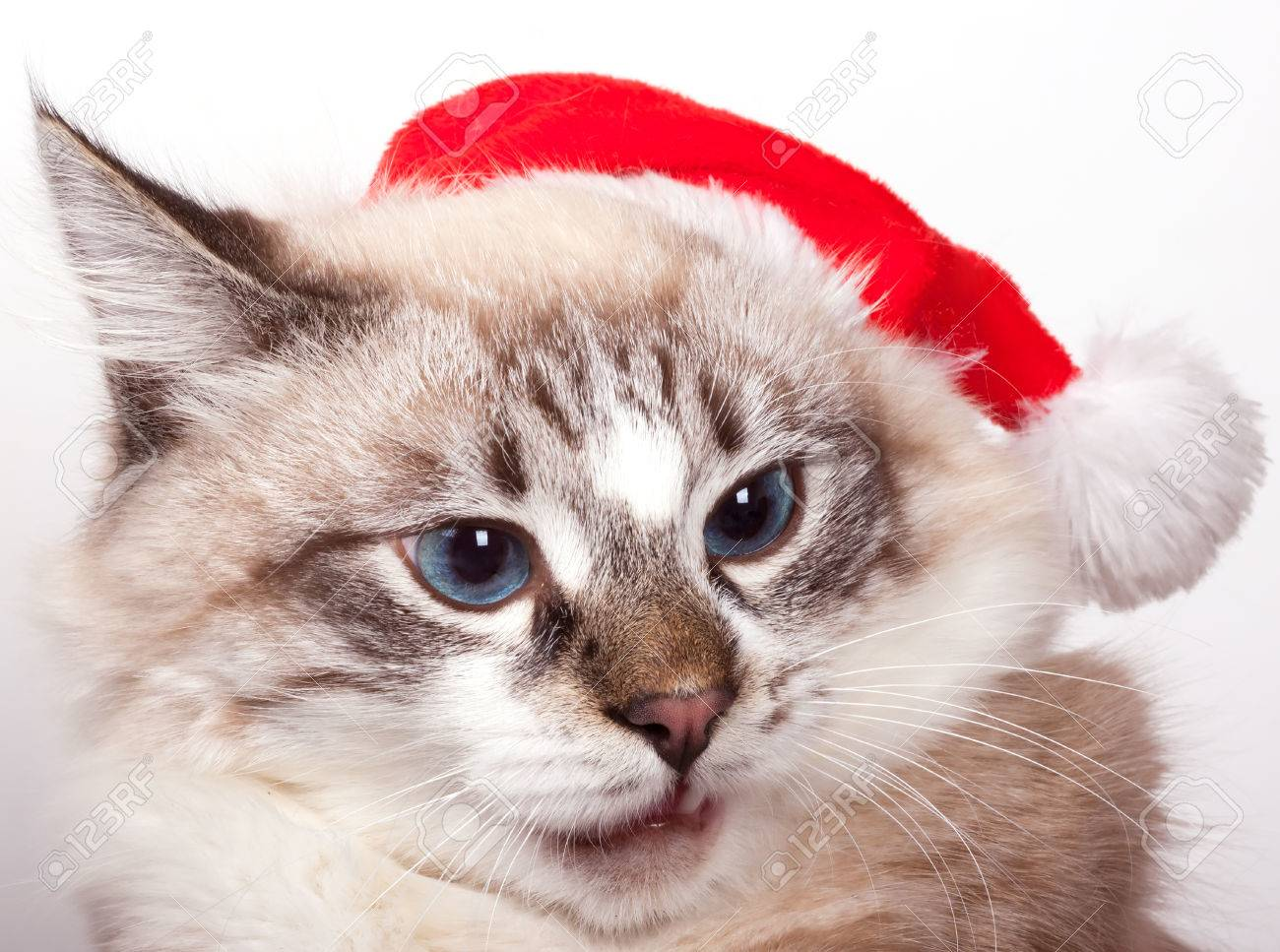 I m Santa Cat wearing a Santa Claus hat portrait - 23691709