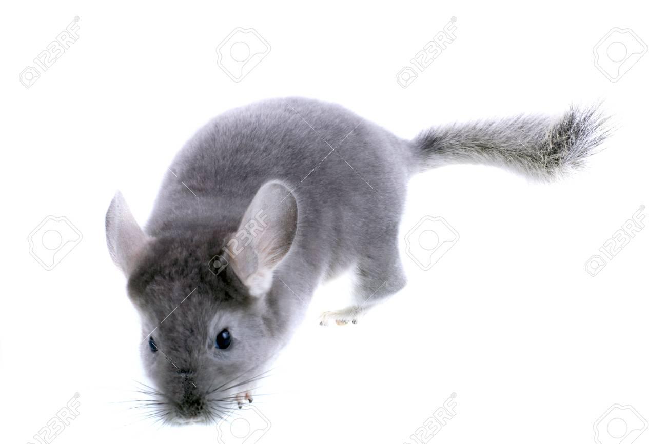 Gray ebonite chinchilla on white background. Isolataed Stock Photo - 10397183